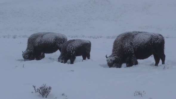 Thumbnail for Bison Adult Young Several Eating Feeding in Winter Dawn Morning in Yellowstone National Park Wyoming