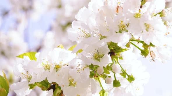 Thumbnail for Spring Blossom