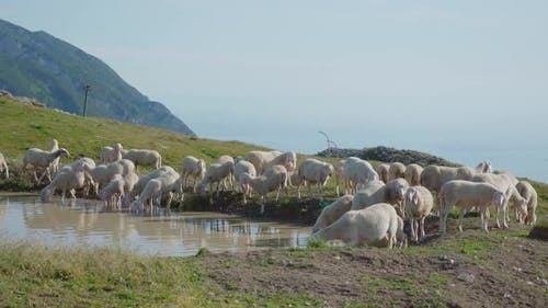 Sheep in Front of a Puddle in the Mountains