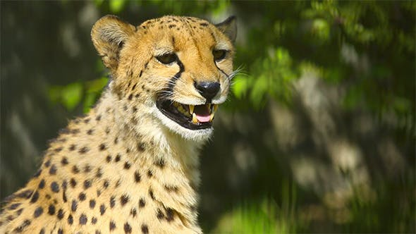 Cover Image for Cheetah