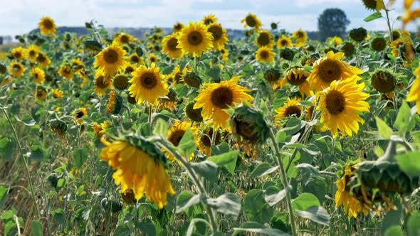 Thumbnail for Sunflowers Fresh Harvest Field at Windy Sunny Day