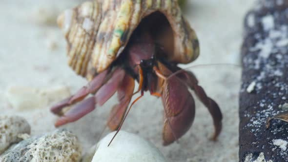 Thumbnail for Hermit Crab Crawling on the Beach