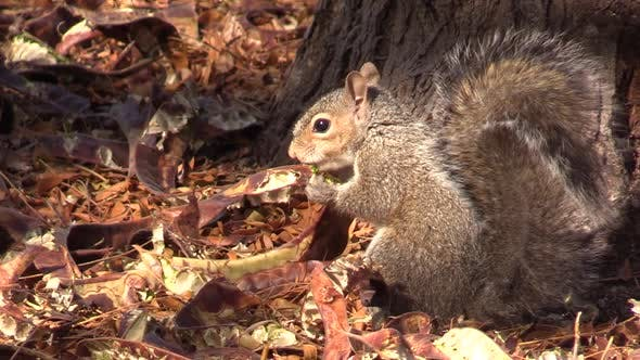 Thumbnail for Gray Squirrel Eating in Autumn Mesquite Seeds in Pod Pods on Ground