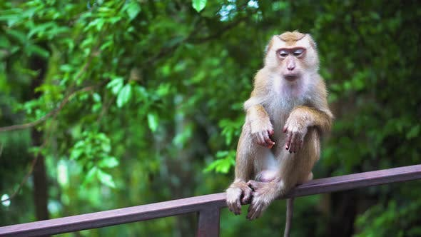 the monkey sits on a railing in an open-air park. monkeys in vivo