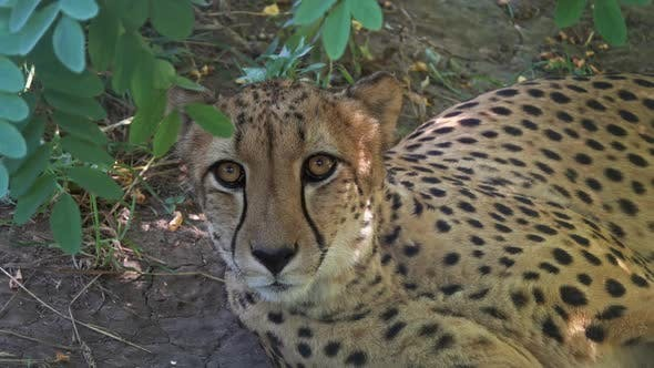 Thumbnail for Lying Jaguar Closeup Portrait
