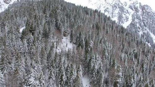 Virgin Snowy Forest