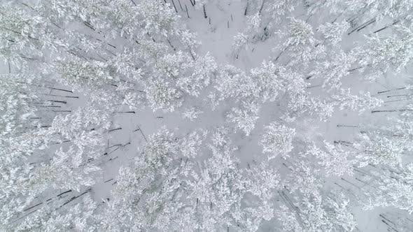 Thumbnail for Winter Forest Fly Over Top View