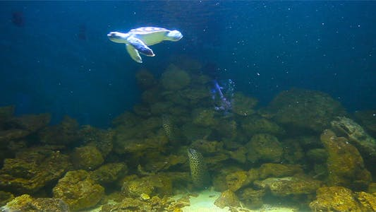 Thumbnail for Sea Turtles 1