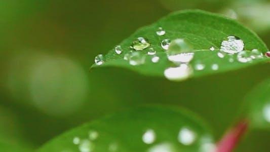 Thumbnail for Rain Drops on the Leaves