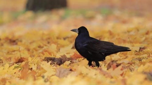 Rook in Autumn Leaves