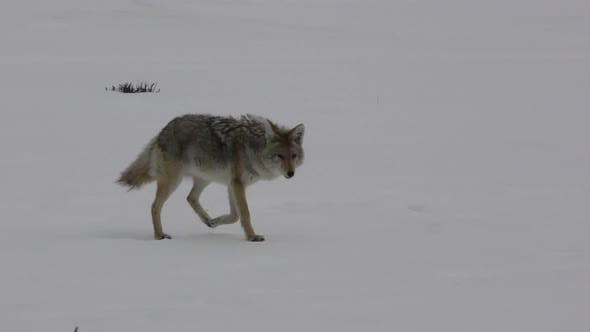 Cover Image for Coyote Adult Lone Walking Moving in Yellowstone National Park Wyoming