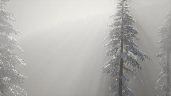 Thumbnail for Nebelnebel im Kiefernwald an den Berghängen
