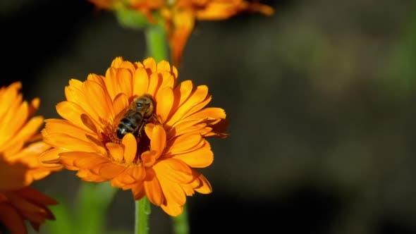Thumbnail for Bee on a Orange Marigold