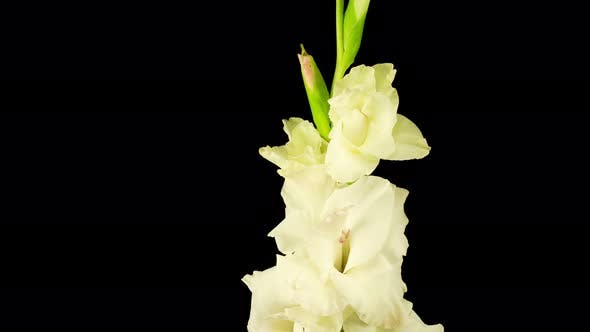 Time lapse of Opening White Gladiolus Flower