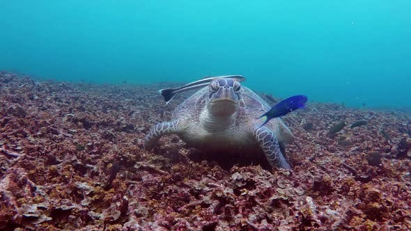 Thumbnail for Sea Turtle Eating Corals