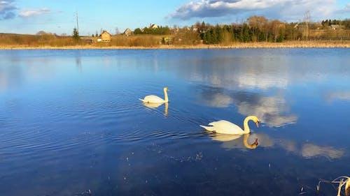 Une paire de cygnes blancs sur un lac de printemps