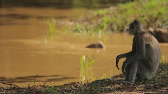 Thumbnail for Animals of Sri Lanka. Monkey in the Jungle. Close-up.