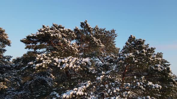 Pine Forest In Winter Covered With Snow