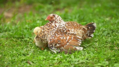 Chicken with Chickens