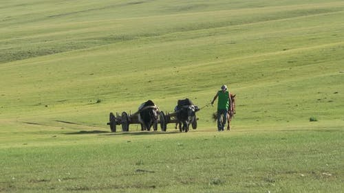 A Shepherd Brings the Ox Chariots