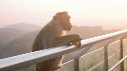 Baboon Monkey Refuses To Eat Banana at Touristic Place