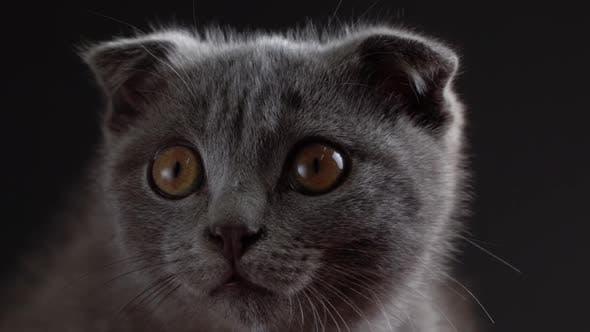Thumbnail for British Scottish Fold Cat Close Up Portrait