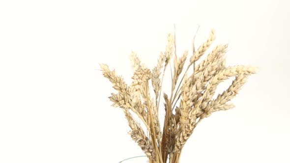 Thumbnail for Ripe Ears of Wheat on White, Rotation