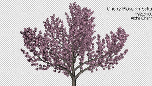 Thumbnail for Tree Cherry Blossom