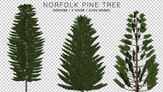 Cover Image for Norfolk Pine ( 3 in 1 )