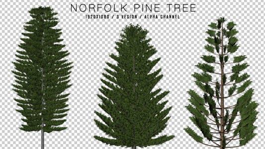 Thumbnail for Norfolk Pine ( 3 in 1 )