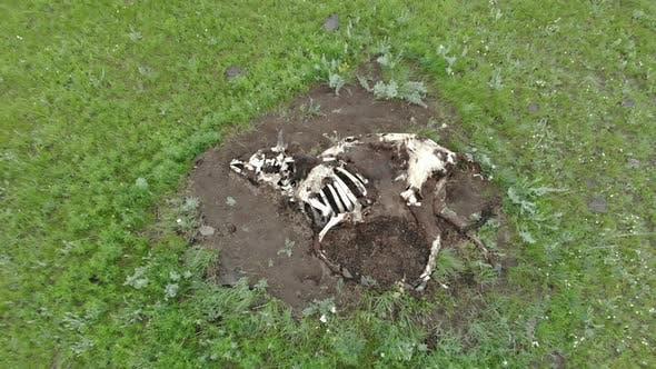 Alte tote Tierkarkasse, die auf natürlicher Weise in der Grünen Wiese gestorben