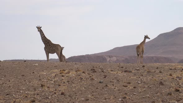 Giraffe family on a dry savanna