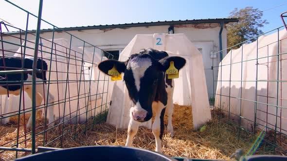 Thumbnail for Livestock Farm. Little Calf on the Farm. Nursery with Small Calves on a Dairy Farm. A Little Calf