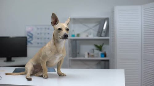 Scared Dog Sitting on Animal Clinic Table, Waiting for Veterinarian Examination