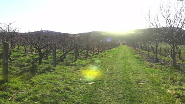 Thumbnail for Flight Over the Morning Apple Orchard. The Sun Shines Into the Camera and Beats the Sun's Glare in