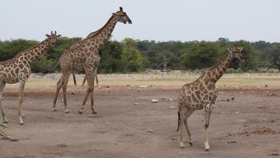 Thumbnail for Giraffe on Etosha, Namibia safari wildlife