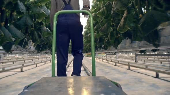 Thumbnail for Worker with Cart Walking through Greenhouse