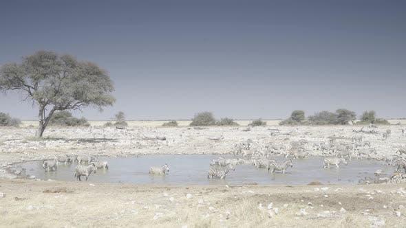 Gathering of Zebras