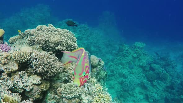 Cover Image for A Curious Klunzingers Wrasse Fish Floats on the Background of Magnificent Corals in the Red Sea