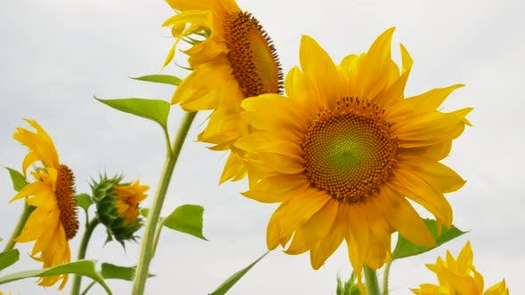 Thumbnail for Agriculture Field with Sunflowers