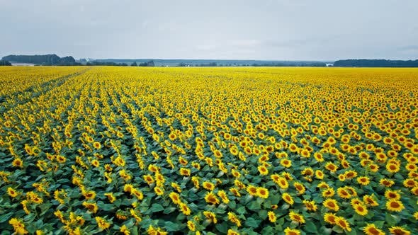 Flowering of Yellow Sunflowers in the Field