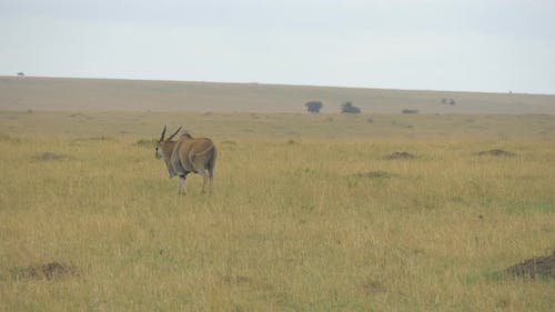 Common eland grazing and walking
