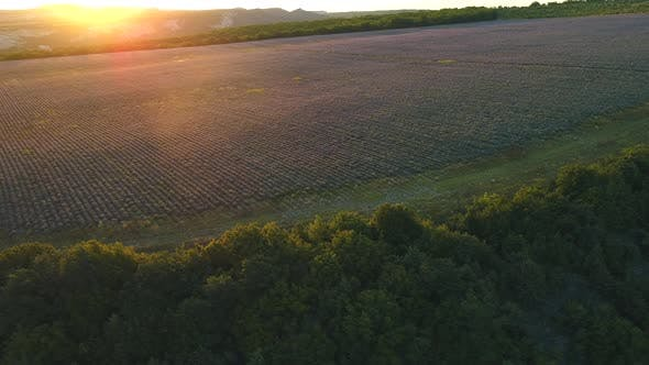 Thumbnail for Aerial view of large lavender field