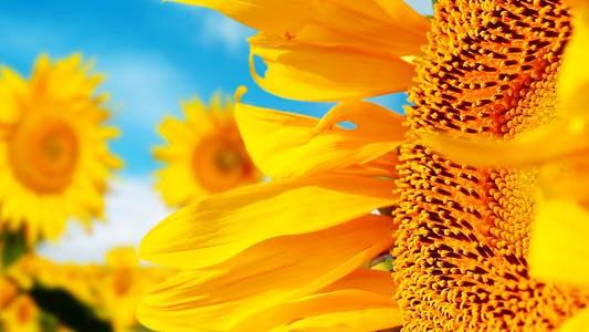 Thumbnail for Sunflowers 1