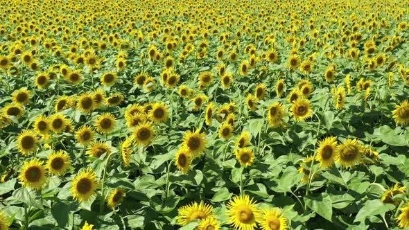 Thumbnail for Sunflowers 20