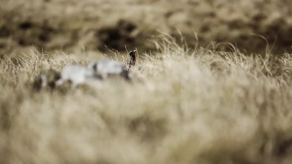 Thumbnail for Long- tailed Meadowlark, Sturnella loyca, in Natural Habitat, in Argentina.