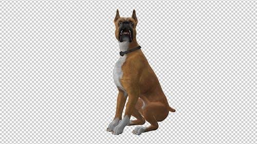 Dog - Boxer - Seating and Barking - Loop