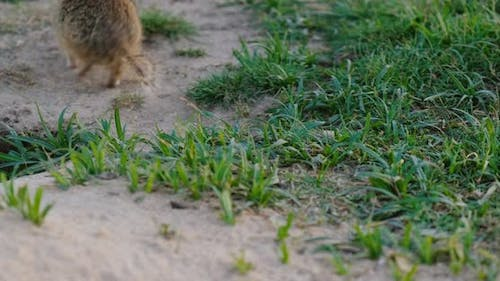 A Small Ground Squirrel Gathering Grass From the Field and Hides in a Hole.