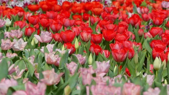 Thumbnail for Tulips flowers spring bloom in the garden