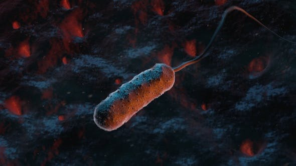 Thumbnail for Bacteria Vibrio Vulnificus